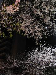 夜桜_KICX4740.jpg