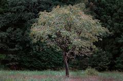 柿の木_DSC_2459.jpg