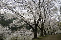 桜の園_DSC_4723.jpg