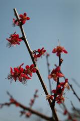 梅の花の最後_DSC_4478.jpg