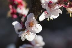 梅の花_DSC_4397.jpg