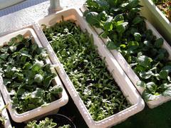 野菜三種_KICX4488.jpg