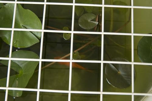 金魚_DSC_0992.jpg