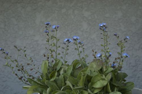 青い花_DSC_0241.jpg