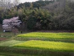 菜の花畑_KICX4773.jpg