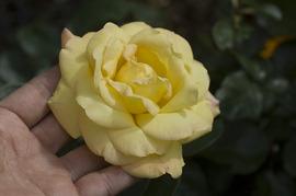 薔薇ピース手計り_DSC_5632.jpg